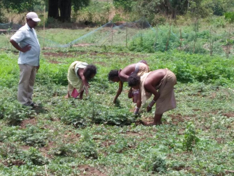 Field preparation for commercial vegetable cultivation Paramguda PVTG Village of DKDA-Chatikona 01.jpe