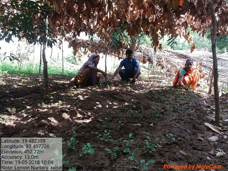 Nursery raised in DKDA-CHATIKONA under CCD grant Lemon saplings supported to the PVTGs for nutritional suppliments 02.jpe