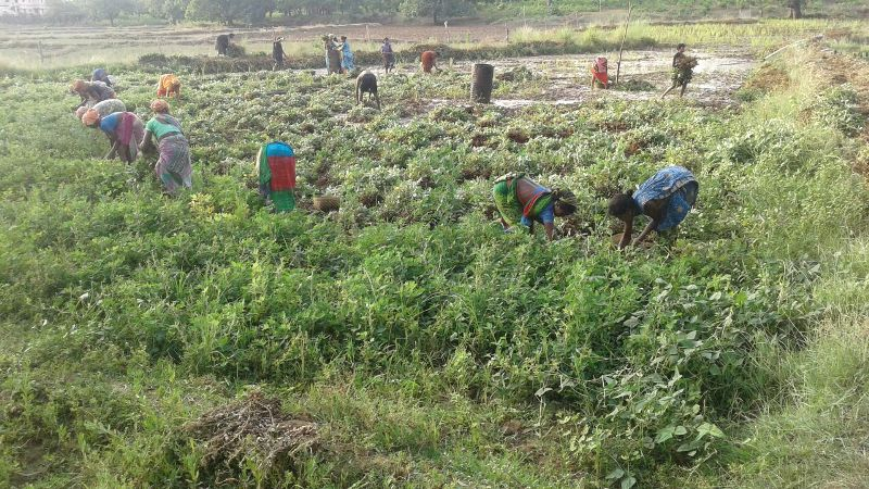 The happy farmers busy in harvesting ground nut  supported financial technical by DDA K-Gumma Malkangiri TOTAL area 40acr-03.jpe