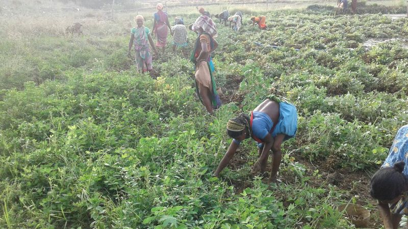 The happy farmers busy in harvesting ground nut  supported financial technical by DDA K-Gumma Malkangiri TOTAL area 40acr-04.jpe
