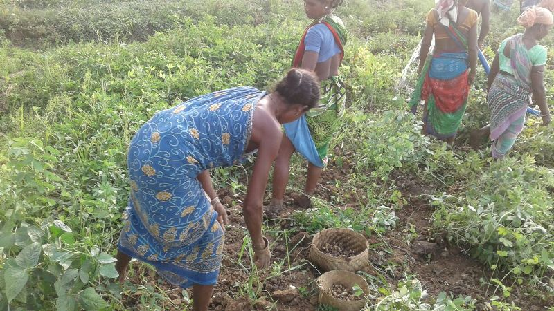 The happy farmers busy in harvesting ground nut  supported financial technical by DDA K-Gumma Malkangiri TOTAL area 40acr-05.jpe