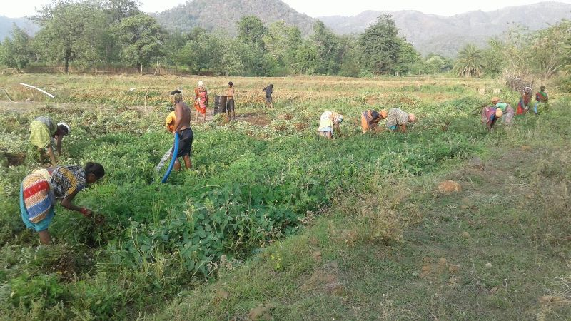 The happy farmers busy in harvesting ground nut  supported financial technical by DDA K-Gumma Malkangiri TOTAL area 40acr-06.jpe