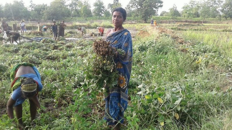 The happy farmers busy in harvesting ground nut supported financial technical by DDA K-Gumma Malkangiri TOTAL area 40acr-01.jpe