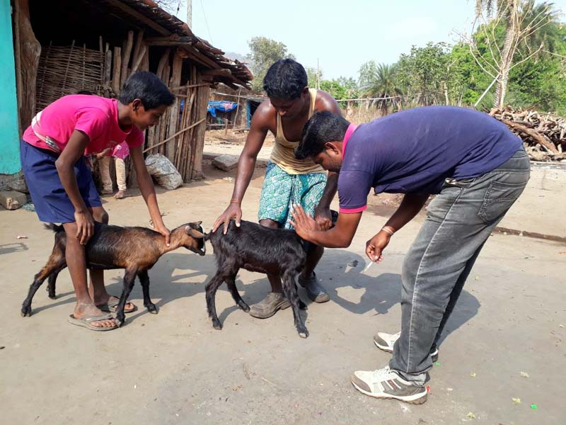 Vaccination of Goat   treatment of Cow at Hatipadar viilage under DKDA-Chatikona 01.jpe